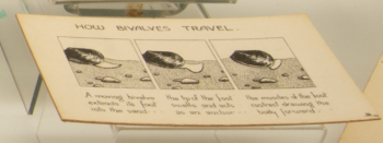 Illustration by Robert Rendall: 'How Bivalves Travel' - I thought it looked like a comic book strip or an animation storyboard.  This now features in the Museum's temporary 'Living Wrecks' exhibition.